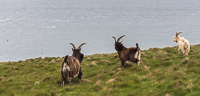 Three goats, and if you look carefully on the left: two angry birds :D