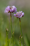 Sea pink/thrift (Engels Gras in Dutch) growing in the dunes