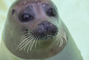 One of the seals in Ecomare, this one is a young orphan