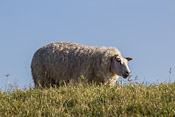 Texel is famous for its sheep