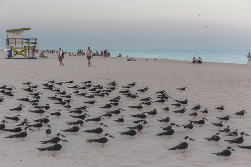 Black Skimmers (Amerikaanse Schaarbek) on Miami Beach - funny creatures! They let me come very close