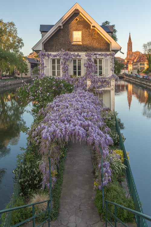 Magical little house covered in purple flowers (wisteria)