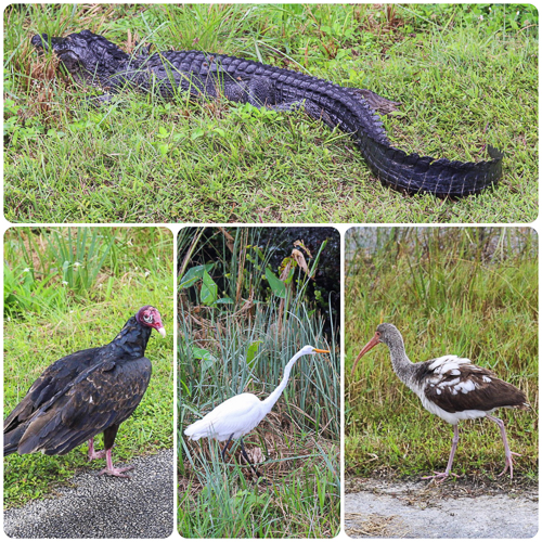 The wildlife along the way was amazing - and you would almost cycle over the tails of alligators!!