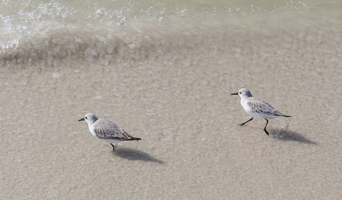 Cute sandpipers on Naples City Beach