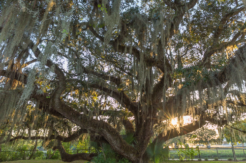 Spanish Moss on a tree at sunset