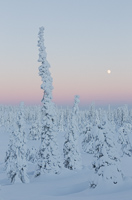 This tree shows very well how they adjust to the harsh climate: being long and thin is best!