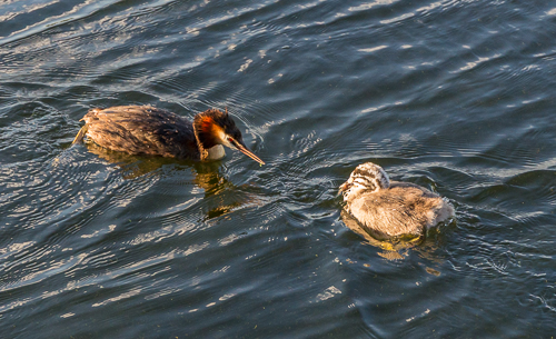 We watched this great crested grebe (fuut in Dutch) feed its young