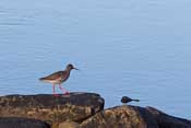 I think this is a Redshank/Rødstilk - wish I had a better lens for bird photography!