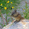 A chipmunk eating dandelions seeds right next to me!