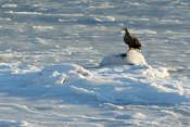 A big eagle on a frozen fjord