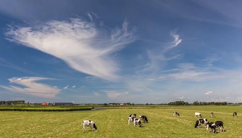 Cows and a very pretty sky