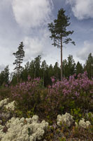 The landscape changed to pine forest, moss and heather