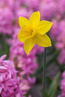 A daffodil between pink hyacinths