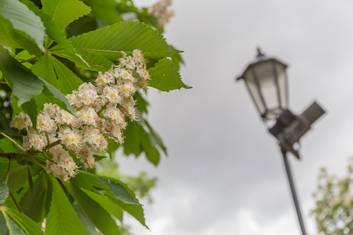 I loved all the flowering horse chestnuts in Prague!