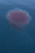 A colourful jellyfish
