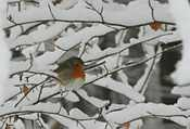 A robin - a bit of colour in a black-and-white world
