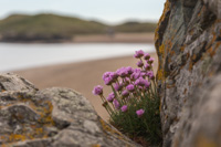 Sea Thrift growing in the most impossible places