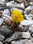 This flower is always the first to arrive in spring. It's tiny, and prefers to grow in impossible places - but I am always so excited to spot the first one! This one is in our parking lot. The name of the flower is hestehov in Norwegian, Klein Hoefblad in Dutch and Coltsfoot in English