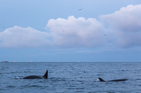 Orca's - unfortunately I didn't manage to capture their pretty white spots - they are so fast!