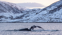 Two humpback whales. Behind them you can see the road coming down to Grøtfjord