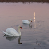 Swans & moon reflection
