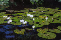 Some very pretty water lillies