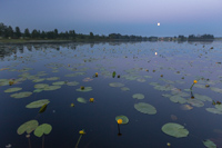 Water lillies & the moon, taken from the rowing boat