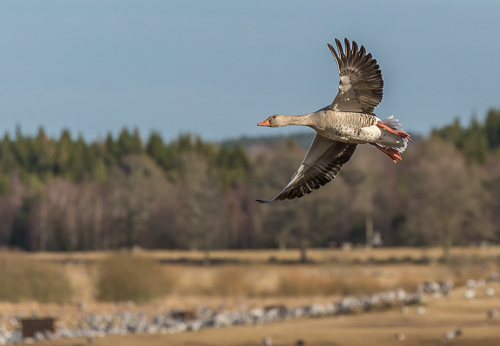 Greylag geese in for landing