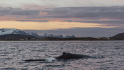 Whale in front of Sommarøy