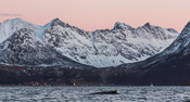 Whale and pink skies