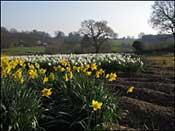 Daffodils & Ladybirds