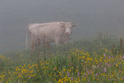 Hello cow!