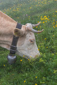 All the cows in Switzerland wear bells and you can hear them from far away