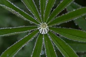 Rain drops inside a lupine plant
