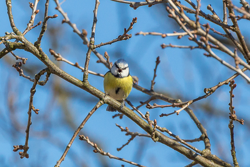 A blue tit calling out