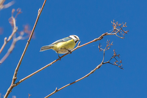 Blue tit and blue sky