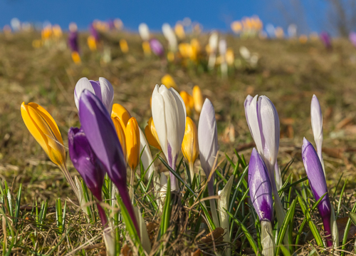 I found crocuses in bloom!