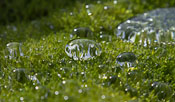 Watertight moss - you could push the big drops with your fingers and they'd roll away like marbles!