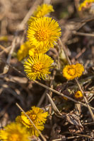 Hestehov / Coltsfoot / Klein Hoefblad - a sure sign that spring is here, this is always to first flower to appear.