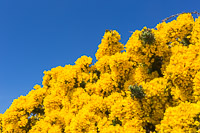 Flowering gorse against the gorgeous blue sky!