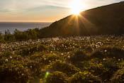 A field full of cottongrass