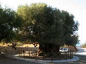 This olive tree is said to be more than 3000 years old... impressive!