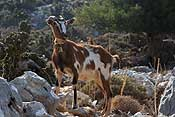 One of the many goats we met in the mountains