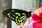 A male Cairns Birdwing butterfly (from Australia) - so pretty!