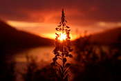 Fireweed against the setting sun