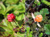 Sørøya was full of cloudberries, an Arctic berry that is very popular here but can't be farmed. On the left an unripe berry, on the right a ripe one. They are SOOOO tasty!